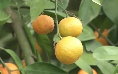 """柑橘如何提质增效?果农放下工具拿起笔,冬闲""""充电""""忙!"""